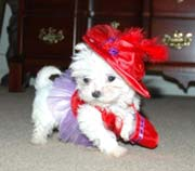 Beautiful,  healthy,  pre-spoiled Maltese puppies.