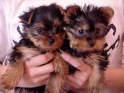Georgeous Male And Female Teacup Yorkie  Puppies Ready For Free Adopti