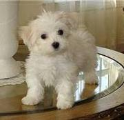 Home Trained Male And Female Maltese Puppies For Free Adoption