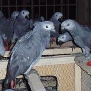 we have nice and lovely parrots for sale