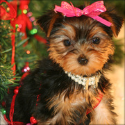 OUR AVAILABLE YORKSHIRE TERRIER (TEACUP) PUPPIES