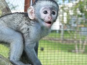 Lovely and jovial purebreed monkeys For Free Adoption