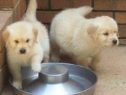 Golden Retriever Puppies For Homes