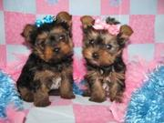 Adorable x- mass Yorkie  Puppies For Free Adoption2